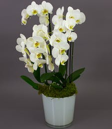 White Bonita Phalaenopsis Orchid in White