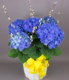 Currans Blue Hydrangea Plant